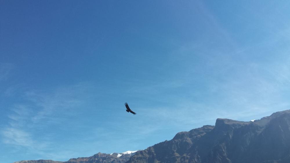 Condor voando
